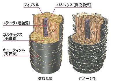 髪の毛の構造